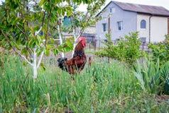 Il gallo di Brown canta in giardino Allevamento del poultry_ Fotografia Stock