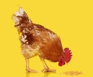 Il gallo di Brown mangia il chicco di grano su fondo giallo, il pollo vivo, un animale da allevamento del primo piano Fotografia Stock Libera da Diritti