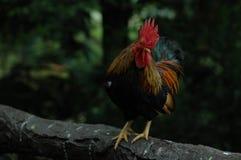 Il gallo diritto Fotografia Stock Libera da Diritti