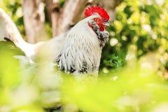 Il gallo fiero con il livello tenuto si dirige Un simbolo di 2017 anni Fotografia Stock Libera da Diritti