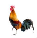 Il gallo ha isolato Fotografia Stock Libera da Diritti