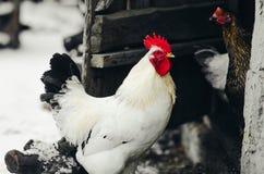 Il gallo nel villaggio Immagine Stock