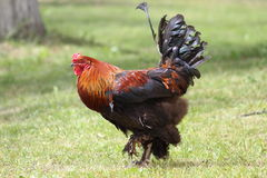 Il gallo nel villaggio di estate Fotografie Stock