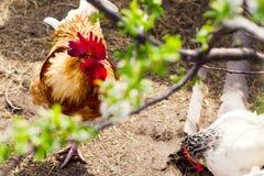 Il gallo nell'azienda agricola dell'iarda di pollo Concetto di zootecnia, famiglia, carne organica, vita del villaggio Immagine Stock