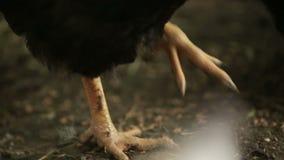 Il gallo nero mangia il grano dalla terra, su un'azienda agricola Cammina sulla terra, le sue zampe è visibile archivi video