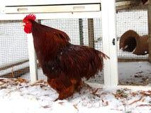 Il gallo rosso canta fuori per tutti per sentire fotografia stock libera da diritti