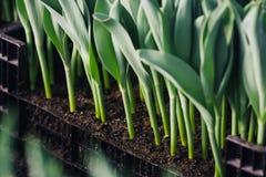 Il gambo del tulipano si sviluppa in scatola fotografia stock libera da diritti