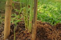 Il gambo dell'asparago e nuovi germinano il tiro Fotografia Stock