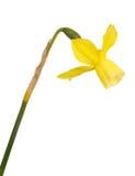 Il gambo ed il fiore di un daffodil giallo fioriscono Fotografie Stock