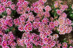 Il garofano chinensis di singola valuta dei fiori del Dianthus fiorisce e bello vistoso vicino provenuto in Europa meridionale Immagine Stock