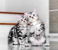 Il gattino americano sveglio dello shorthair era la discussione Messo a fuoco sul supporto Fotografia Stock