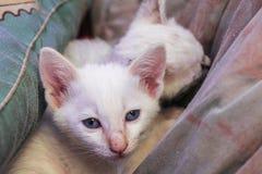 Il gattino bianco con gli occhi azzurri ed il naso rosa si siedono sulla coperta e sul gabinetto fotografie stock libere da diritti