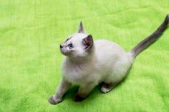 Il gattino bianco con gli occhi azzurri si è seduto Fotografia Stock
