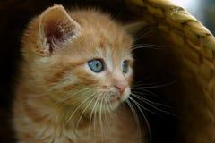 Il gattino in cestino Fotografia Stock Libera da Diritti