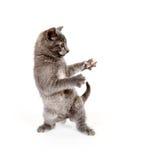 Il gattino che salta affatto il gioco Fotografie Stock