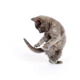 Il gattino che salta affatto il gioco Immagini Stock Libere da Diritti