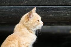 Il gattino dai capelli rossi guarda da parte Immagine Stock
