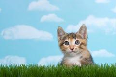 Il gattino del soriano di Tortie si è appollaiato sotto l'erba verde alta della molla Fotografia Stock
