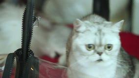 Il gattino del soriano gioca una libellula del giocattolo video d archivio
