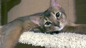 Il gattino di somalo si trova ed ha un resto archivi video