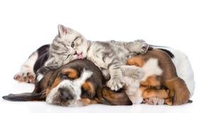 Il gattino divertente che si trova sul basset hound dei cuccioli e li lecca Isolato immagine stock libera da diritti