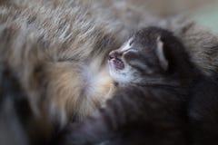 Il gattino dorme dopo la sua alimentazione del ` s della madre Immagine Stock
