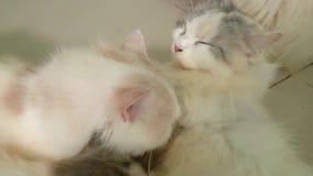 Il gattino due mesi sta dormendo video d archivio