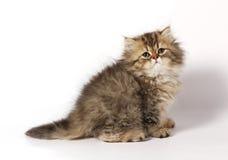 Il gattino persiano Fotografie Stock Libere da Diritti