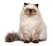 Il gattino persiano sveglio del colourpoint della guarnizione sta sedendosi il frontale fotografia stock libera da diritti