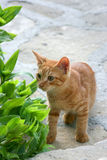 Il gattino rosso Fotografia Stock Libera da Diritti