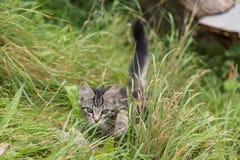 Il gattino rubacchia nel prato Immagine Stock