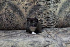 Il gattino scozzese del burattino sta riposando sul sofà Fotografia Stock Libera da Diritti