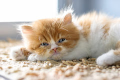 Il gattino si rilassa sul pavimento Immagine Stock Libera da Diritti