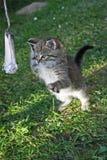 Il gattino sta giocando Fotografie Stock Libere da Diritti