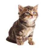 Il gattino sveglio. Immagine Stock Libera da Diritti