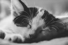 Il gattino sveglio dorme B&W fotografia stock libera da diritti