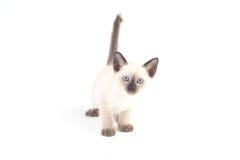 Il gattino tailandese è un gattino siamese tradizionale o antiquato Immagine Stock