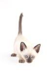 Il gattino tailandese è un gattino siamese tradizionale o antiquato Immagini Stock