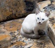 Il gattino tailandese bianco come la neve si è nascosto su una sedia Fotografia Stock