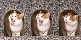 Il gatto è azione continua di sbadiglio Fotografie Stock