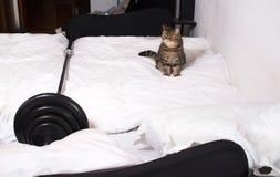 Il gatto è con la barra di sollevamento pesi sul letto, riposante fotografia stock