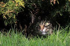 Il gatto Fotografie Stock Libere da Diritti