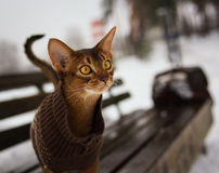 Il gatto abissino emozionante nell'inverno copre la camminata del parco dell'inverno che si siede sul banco Fotografia Stock