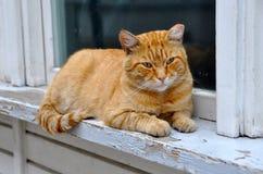 Il Gatto Adulto Rosso Si Trova Su Un Davanzale Immagine Stock