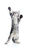 Il gatto allegro divertente sta levandosi in piedi fotografia stock libera da diritti