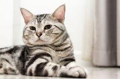 Il gatto americano dello shorthair è sedentesi e guardante in avanti Immagini Stock Libere da Diritti
