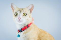 Il gatto arancio dello zenzero ha il collare e campana Immagine Stock Libera da Diritti