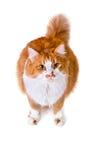Il gatto arancio e bianco interessato cerca Fotografie Stock Libere da Diritti