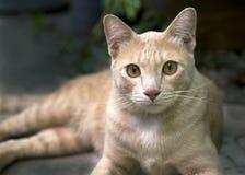 Il gatto arancio mette sul pavimento Fotografia Stock