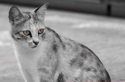 Il gatto attento Fotografie Stock Libere da Diritti